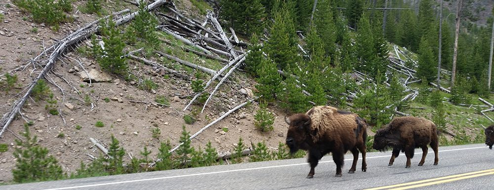 yellowstone national park overrated bison