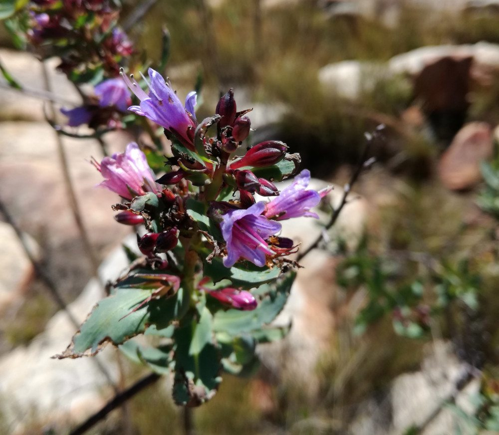 heuningvlei trail purple flower