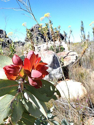 red flowering plant cederberg
