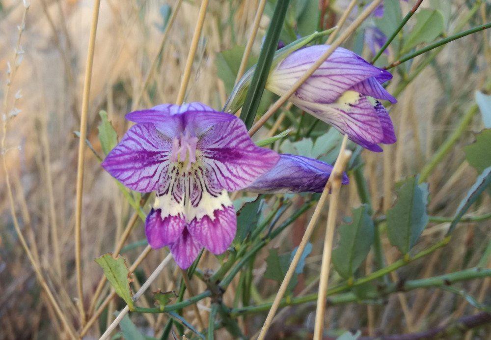 cederberg fynbos purple flower
